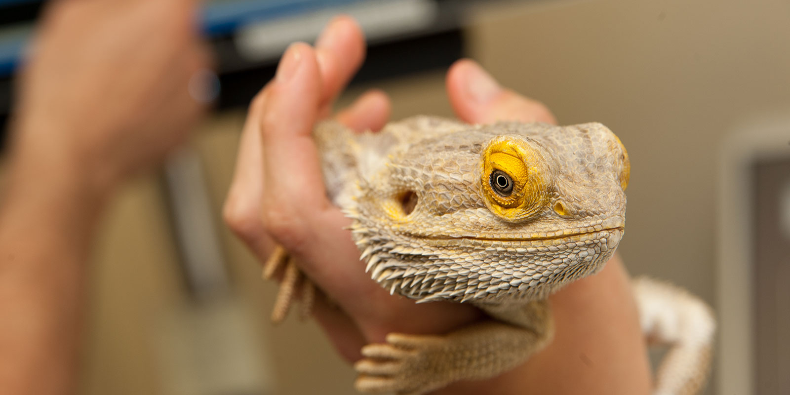 bearded dragon at the vet